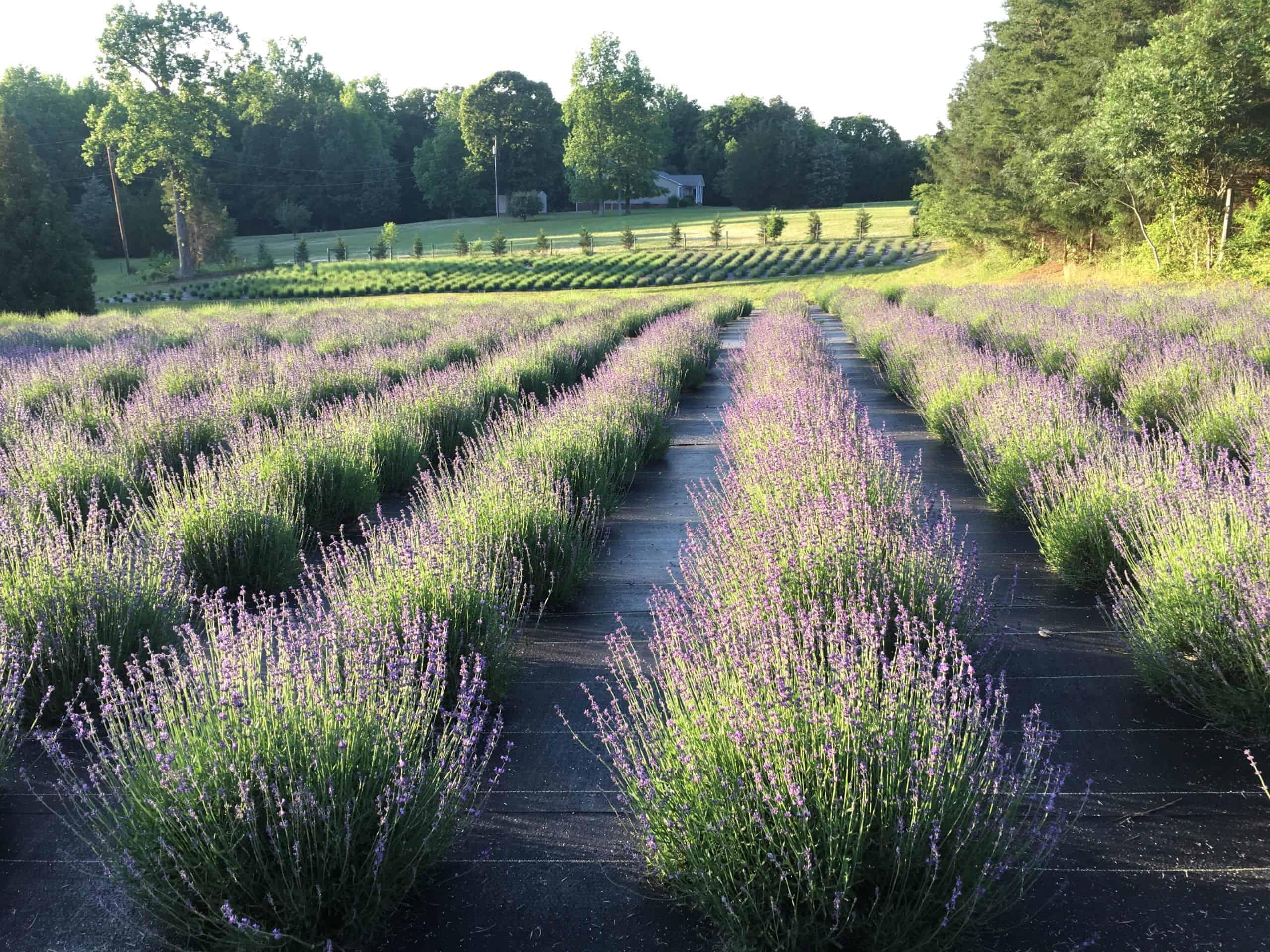 Carolina Lavender Farm